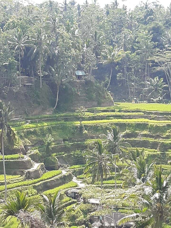 Sawahs or rice terraces in Bali